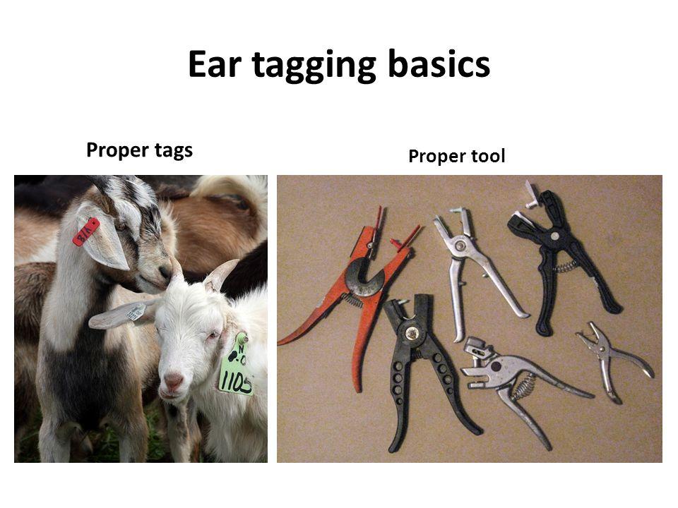 Ear tagging basics Proper tags Proper tool