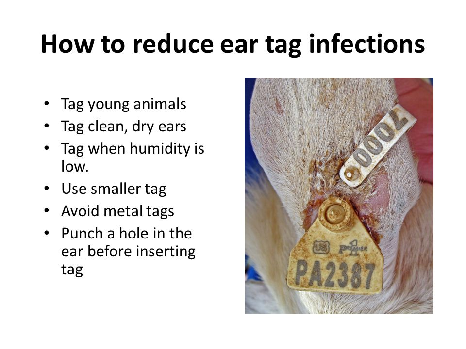 How to reduce ear tag infections Tag young animals Tag clean, dry ears Tag when humidity is low. Use smaller tag Avoid metal tags Punch a hole in the