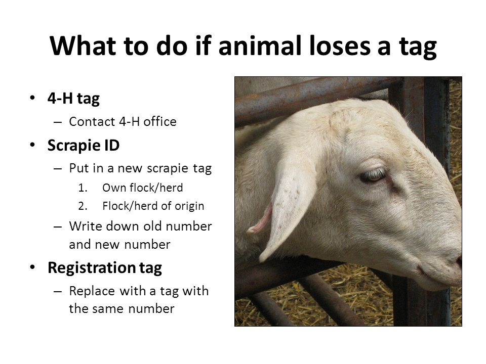 What to do if animal loses a tag 4-H tag – Contact 4-H office Scrapie ID – Put in a new scrapie tag 1.Own flock/herd 2.Flock/herd of origin – Write do