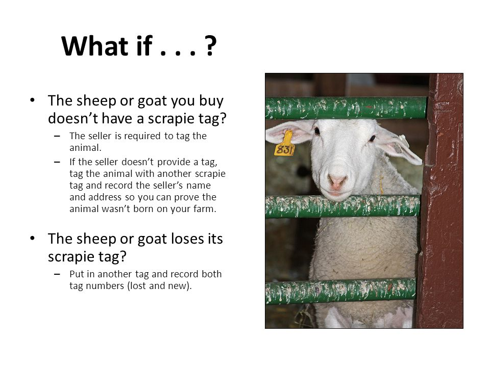 What if... ? The sheep or goat you buy doesnt have a scrapie tag? – The seller is required to tag the animal. – If the seller doesnt provide a tag, ta