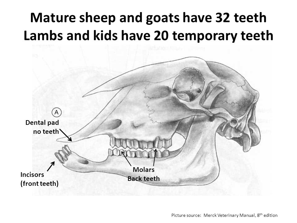 Mature sheep and goats have 32 teeth Lambs and kids have 20 temporary teeth Molars Back teeth Incisors (front teeth) Dental pad no teeth Picture sourc