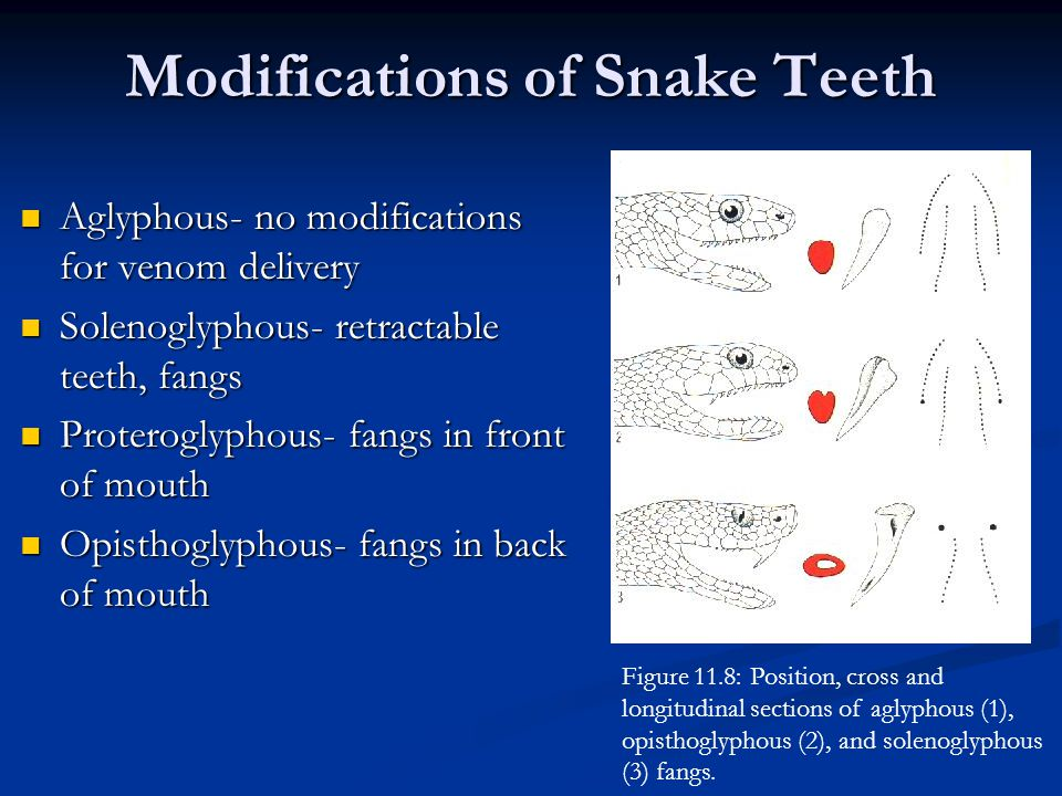 Aglyphous- no modifications for venom delivery Aglyphous- no modifications for venom delivery Solenoglyphous- retractable teeth, fangs Solenoglyphous- retractable teeth, fangs Proteroglyphous- fangs in front of mouth Proteroglyphous- fangs in front of mouth Opisthoglyphous- fangs in back of mouth Opisthoglyphous- fangs in back of mouth Modifications of Snake Teeth Figure 11.8: Position, cross and longitudinal sections of aglyphous (1), opisthoglyphous (2), and solenoglyphous (3) fangs.