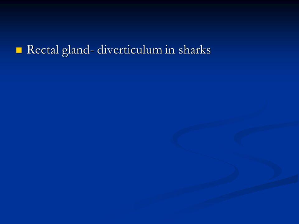 Rectal gland- diverticulum in sharks Rectal gland- diverticulum in sharks