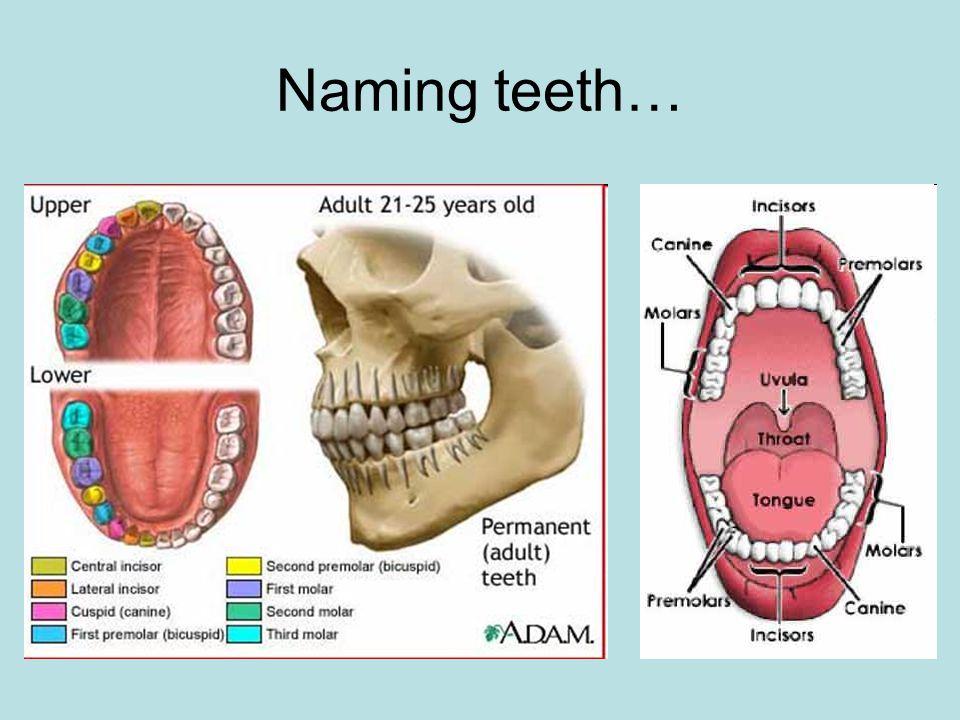Naming teeth…