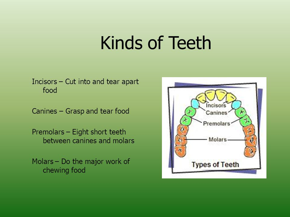 Kinds of Teeth Incisors – Cut into and tear apart food Canines – Grasp and tear food Premolars – Eight short teeth between canines and molars Molars – Do the major work of chewing food