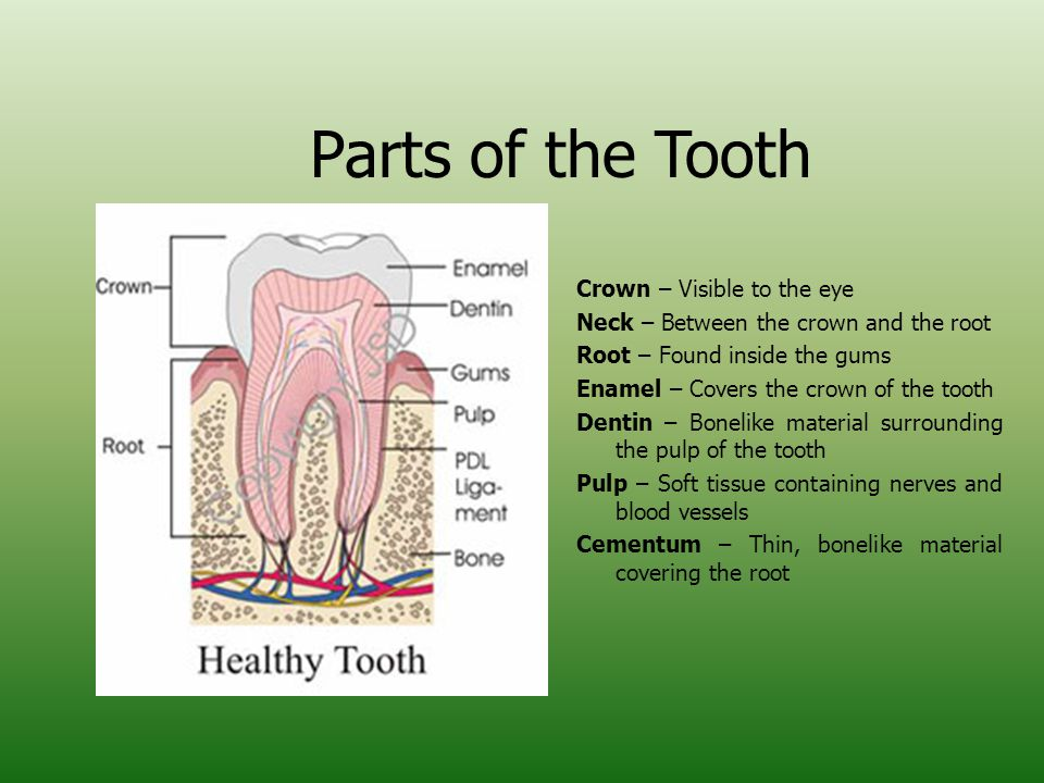 Parts of the Tooth Crown – Visible to the eye Neck – Between the crown and the root Root – Found inside the gums Enamel – Covers the crown of the tooth Dentin – Bonelike material surrounding the pulp of the tooth Pulp – Soft tissue containing nerves and blood vessels Cementum – Thin, bonelike material covering the root