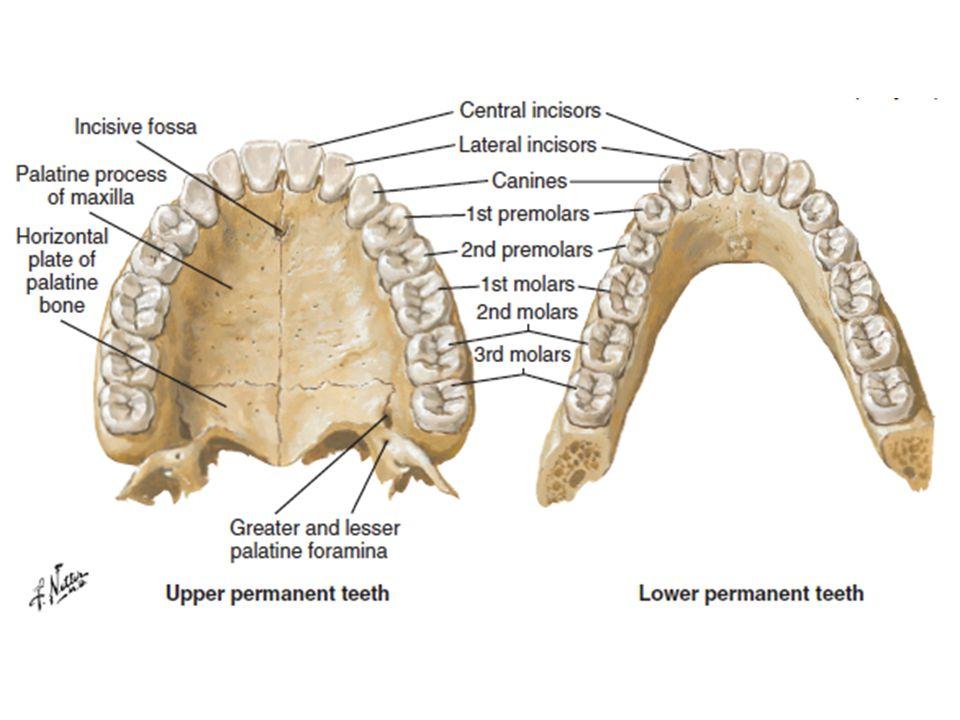 Terminology Lower aka Mandibular Upper aka Maxillary Lingual - mandibular teeth toward tongue Palatal - maxillary teeth toward tongue Labial - anterior teeth toward lips Buccal - posterior teeth toward cheeks Interproximal - surface between two adjacent teeth Occlusal/Incisal - biting surface Cervical - junction of crown and root