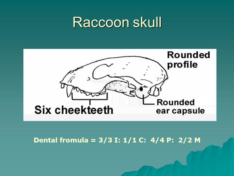 Raccoon skull Dental fromula = 3/3 I: 1/1 C: 4/4 P: 2/2 M