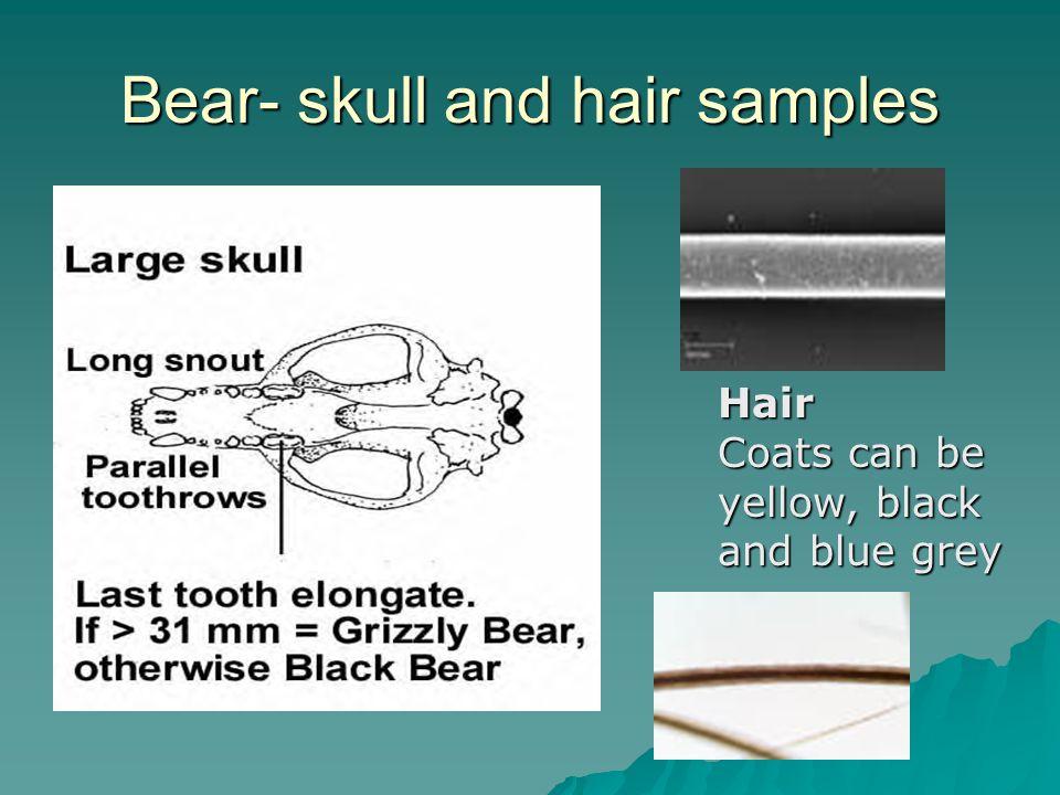 Bear- skull and hair samples Hair Coats can be yellow, black and blue grey