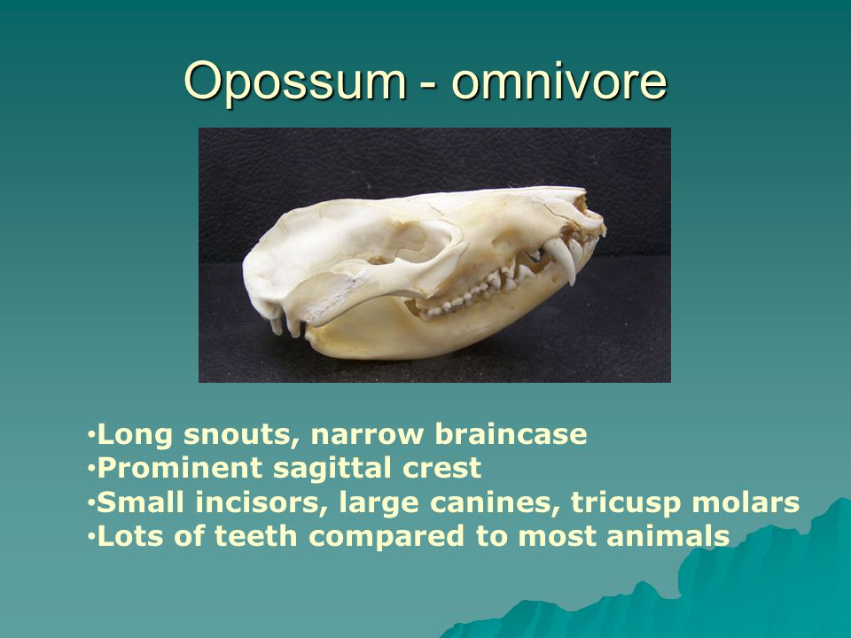 Opossum - omnivore Long snouts, narrow braincase Prominent sagittal crest Small incisors, large canines, tricusp molars Lots of teeth compared to most