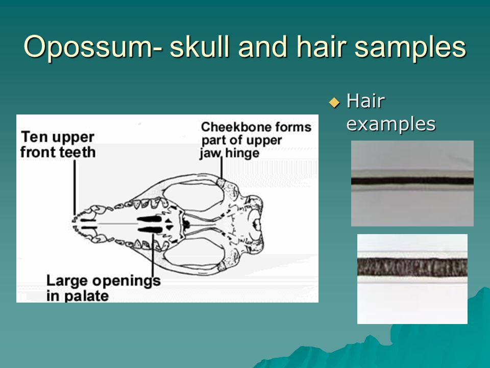 Opossum- skull and hair samples Hair examples Hair examples