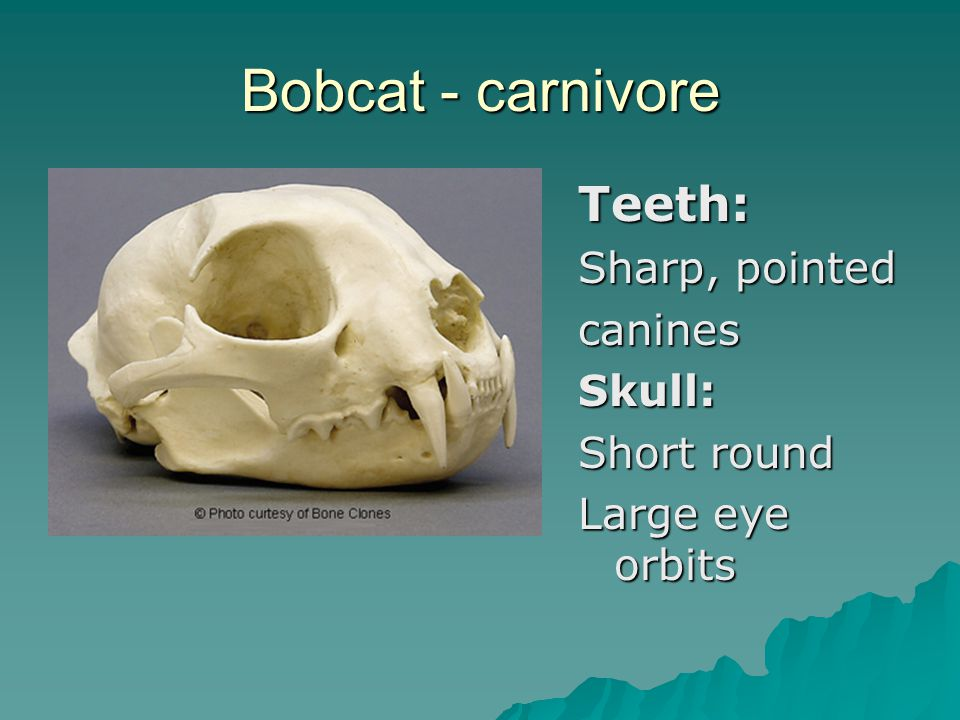 Bobcat - carnivore Teeth: Sharp, pointed caninesSkull: Short round Large eye orbits