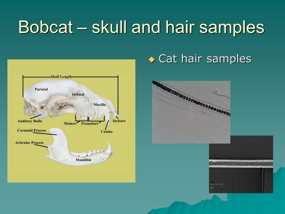Bobcat – skull and hair samples Cat hair samples Cat hair samples
