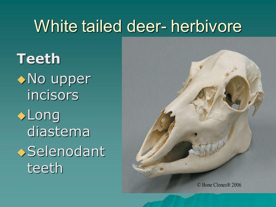 White tailed deer- herbivore Teeth No upper incisors No upper incisors Long diastema Long diastema Selenodant teeth Selenodant teeth