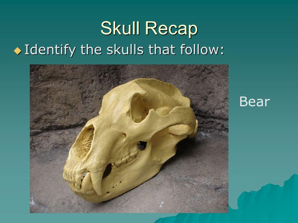 Skull Recap Identify the skulls that follow: Identify the skulls that follow: Bear