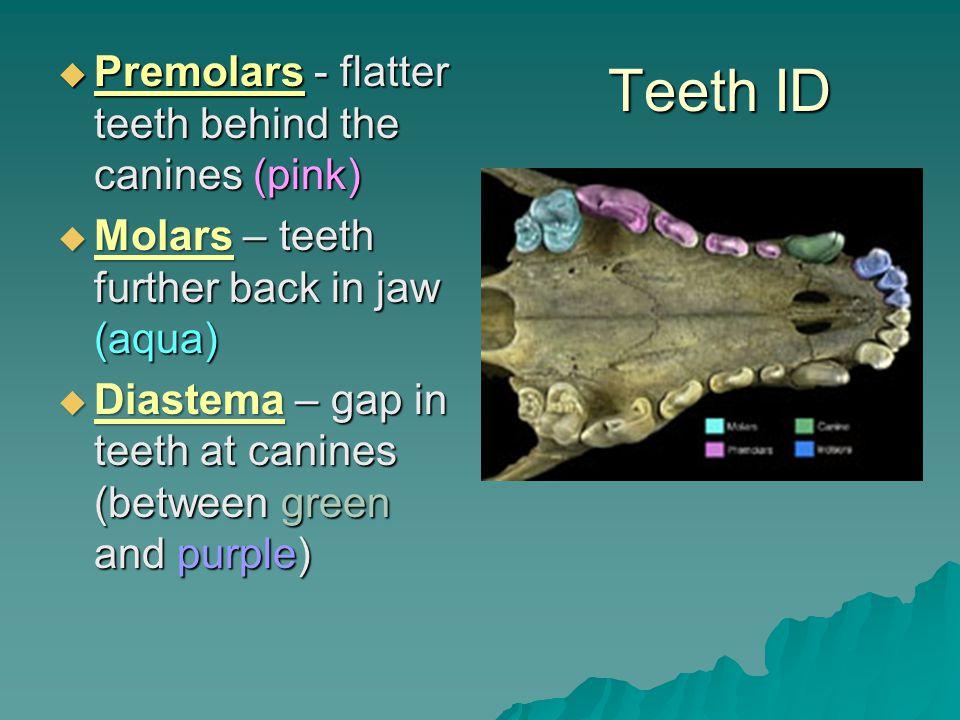 Teeth ID Premolars - flatter teeth behind the canines (pink) Premolars - flatter teeth behind the canines (pink) Molars – teeth further back in jaw (aqua) Molars – teeth further back in jaw (aqua) Diastema – gap in teeth at canines (between green and purple) Diastema – gap in teeth at canines (between green and purple)