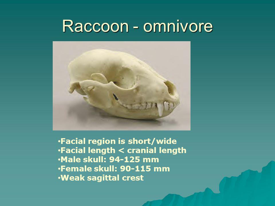 Raccoon - omnivore Facial region is short/wide Facial length < cranial length Male skull: 94-125 mm Female skull: 90-115 mm Weak sagittal crest
