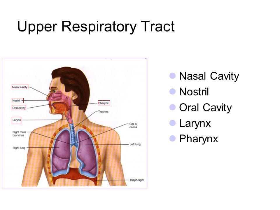 Upper Respiratory Tract Nasal Cavity Nostril Oral Cavity Larynx Pharynx