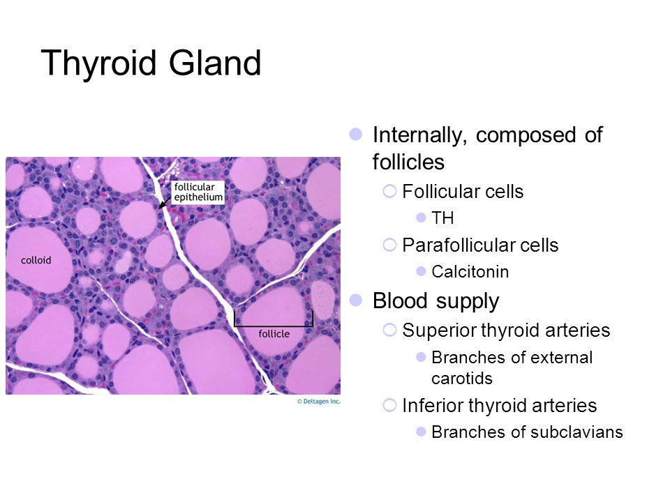 Thyroid Gland Internally, composed of follicles Follicular cells TH Parafollicular cells Calcitonin Blood supply Superior thyroid arteries Branches of