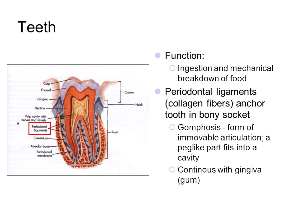 Teeth Function: Ingestion and mechanical breakdown of food Periodontal ligaments (collagen fibers) anchor tooth in bony socket Gomphosis - form of imm