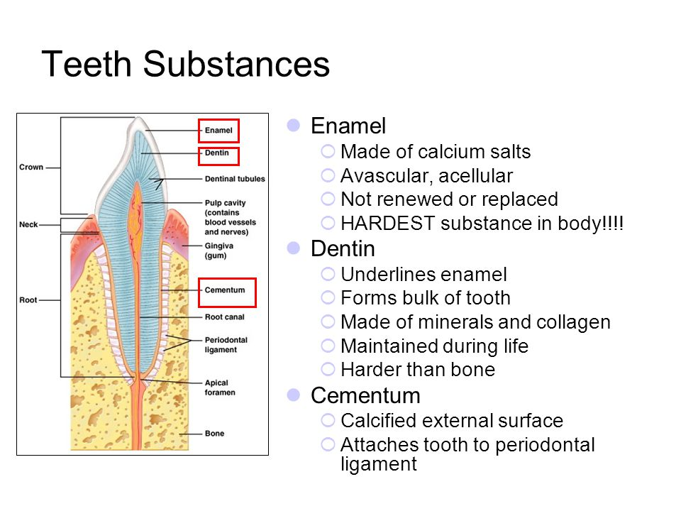 Teeth Substances Enamel Made of calcium salts Avascular, acellular Not renewed or replaced HARDEST substance in body!!!! Dentin Underlines enamel Form