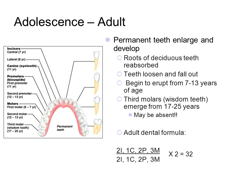 Adolescence – Adult Permanent teeth enlarge and develop Roots of deciduous teeth reabsorbed Teeth loosen and fall out Begin to erupt from 7-13 years o
