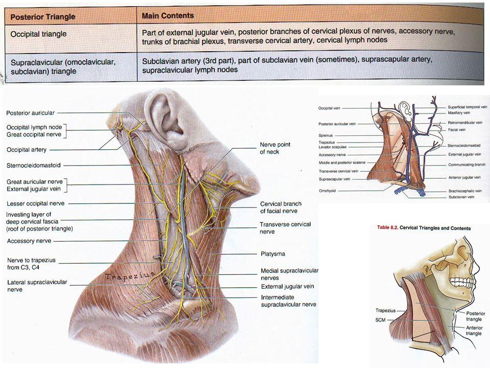 Regions of the Pharynx Nasopharynx Oropharynx Laryngopharynx Pg 584