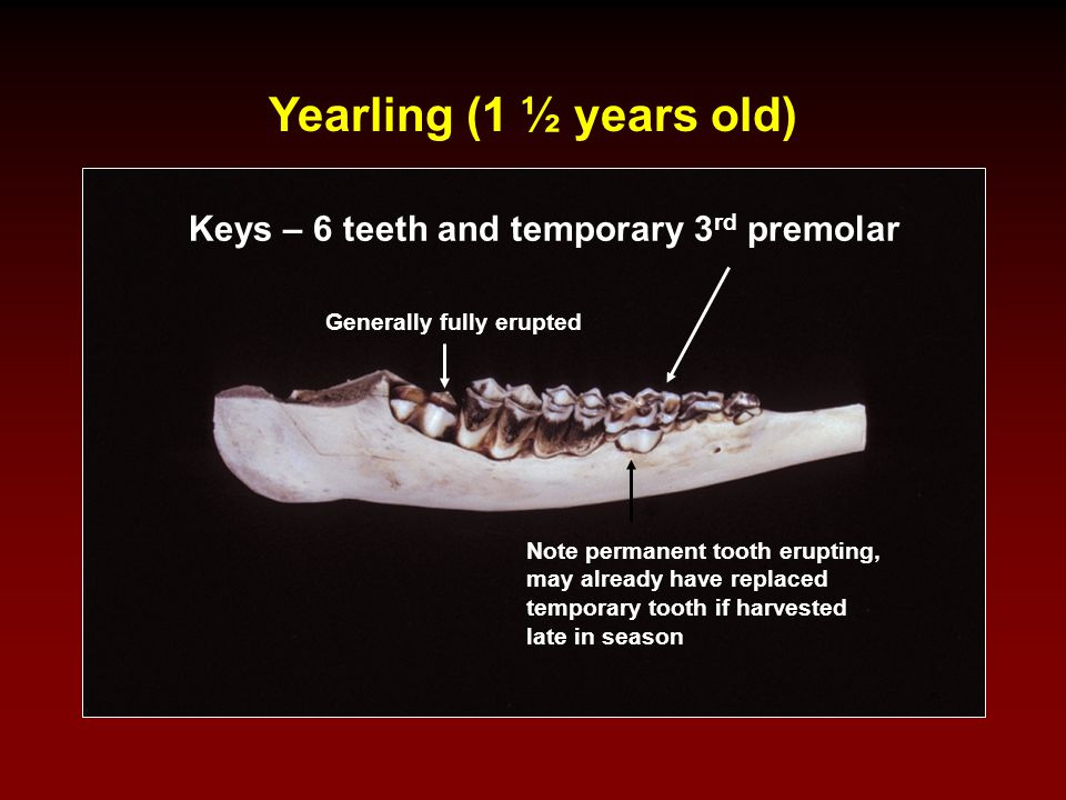 Aging – Step 2 Estimating Age of Adults Based on Wear This technique is based on the width of the dentine on the molars compared to the width of the surrounding enamel.