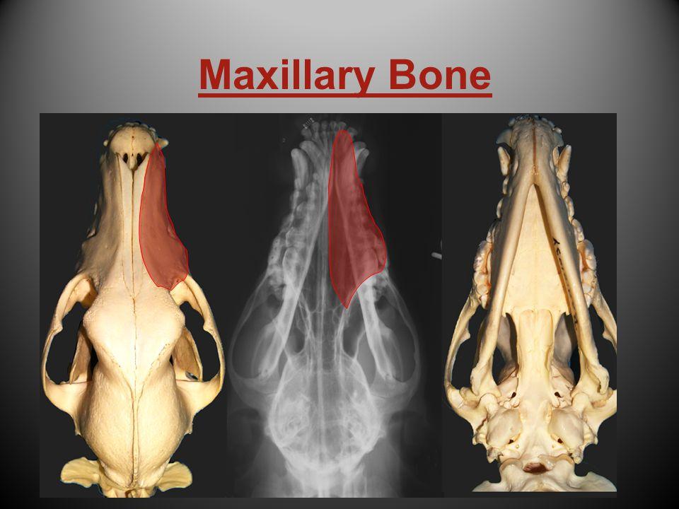 Maxillary Bone