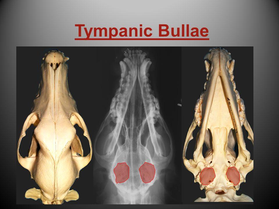 Tympanic Bullae