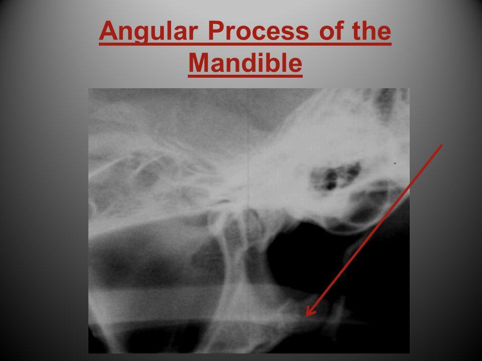 Angular Process of the Mandible