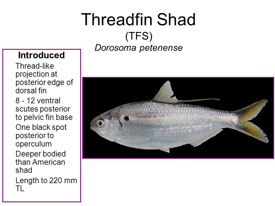 Threadfin Shad (TFS) Dorosoma petenense Introduced Thread-like projection at posterior edge of dorsal fin 8 - 12 ventral scutes posterior to pelvic fi