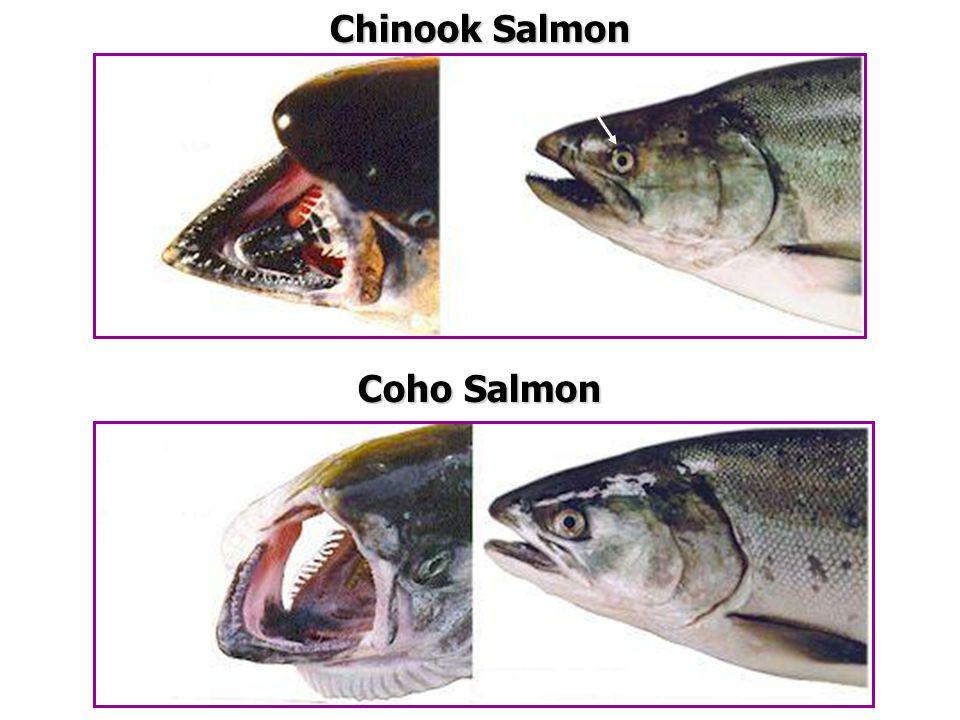 Coho Salmon Chinook Salmon Base of teeth white Edge of gums black Black on gums and base of teeth Small eye
