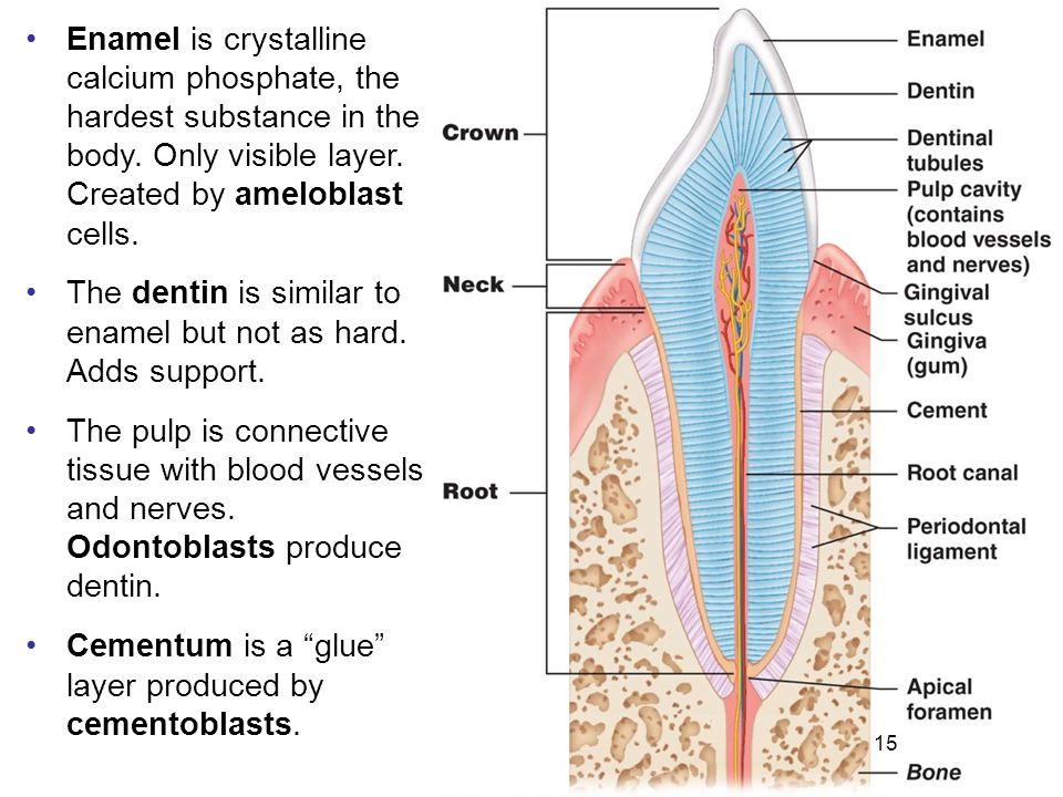 15 Enamel is crystalline calcium phosphate, the hardest substance in the body. Only visible layer. Created by ameloblast cells. The dentin is similar