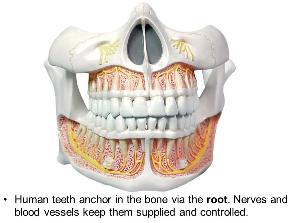 Human teeth anchor in the bone via the root. Nerves and blood vessels keep them supplied and controlled.