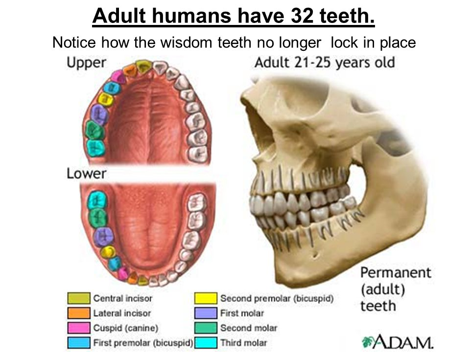 Adult humans have 32 teeth. Notice how the wisdom teeth no longer lock in place