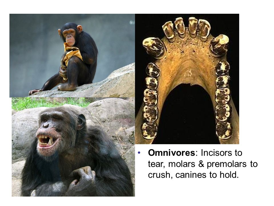 Ominovorous diet Omnivores: Incisors to tear, molars & premolars to crush, canines to hold.