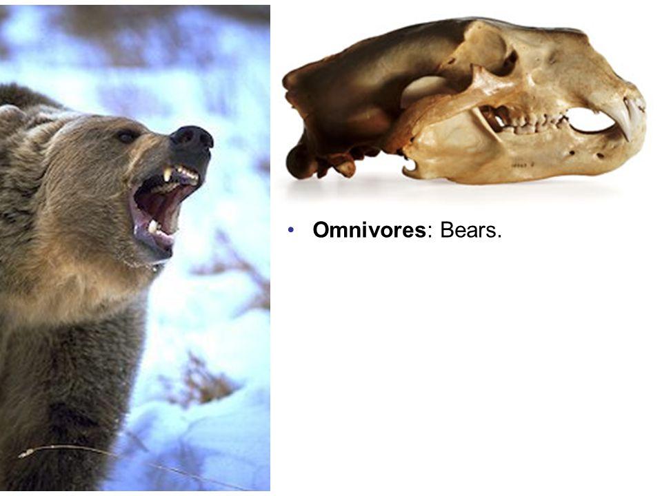 Omnivores: Bears.
