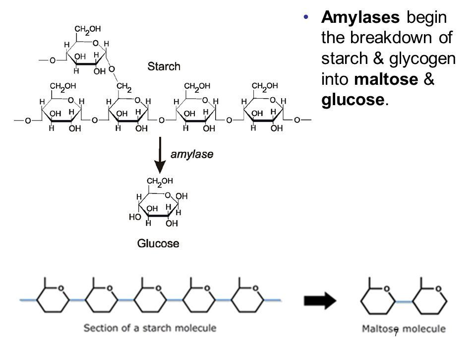 7 Amylases begin the breakdown of starch & glycogen into maltose & glucose.