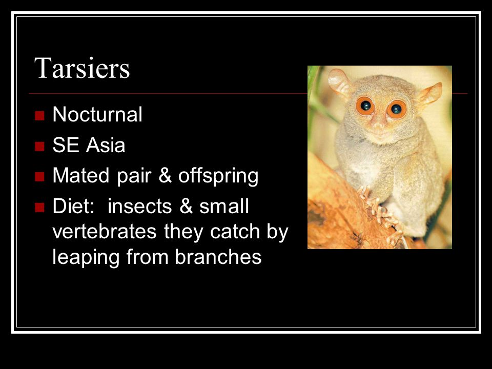 Tarsiers Nocturnal SE Asia Mated pair & offspring Diet: insects & small vertebrates they catch by leaping from branches