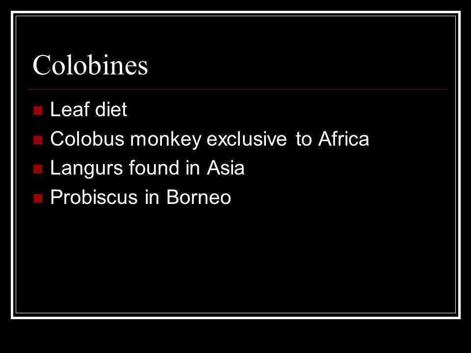 Colobines Leaf diet Colobus monkey exclusive to Africa Langurs found in Asia Probiscus in Borneo