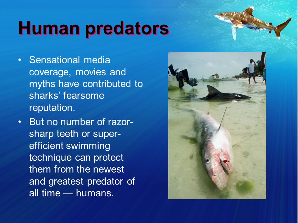 Human predators Sensational media coverage, movies and myths have contributed to sharks fearsome reputation.