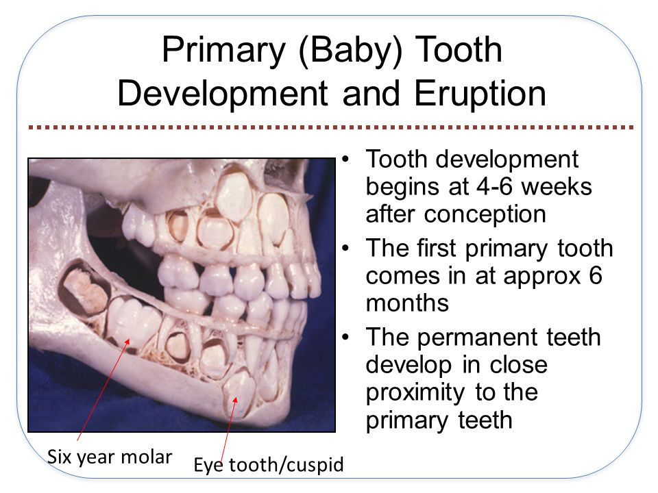 Primary (Baby) Tooth Development and Eruption Tooth development begins at 4-6 weeks after conception The first primary tooth comes in at approx 6 months The permanent teeth develop in close proximity to the primary teeth Six year molar Eye tooth/cuspid