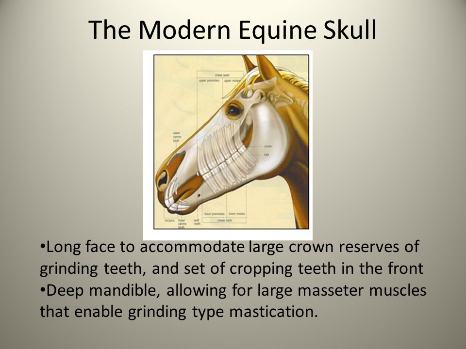 Tooth Structure Horse teeth have evolved hypsodonty, which means they have a high crown.