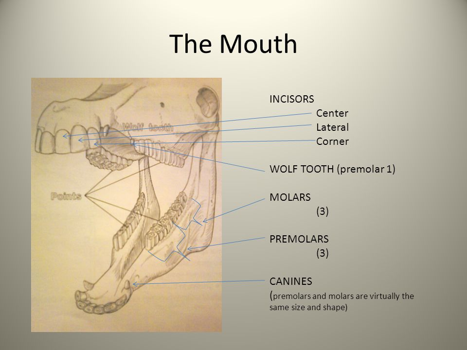 The Mouth INCISORS Center Lateral Corner WOLF TOOTH (premolar 1) MOLARS (3) PREMOLARS (3) CANINES ( premolars and molars are virtually the same size a