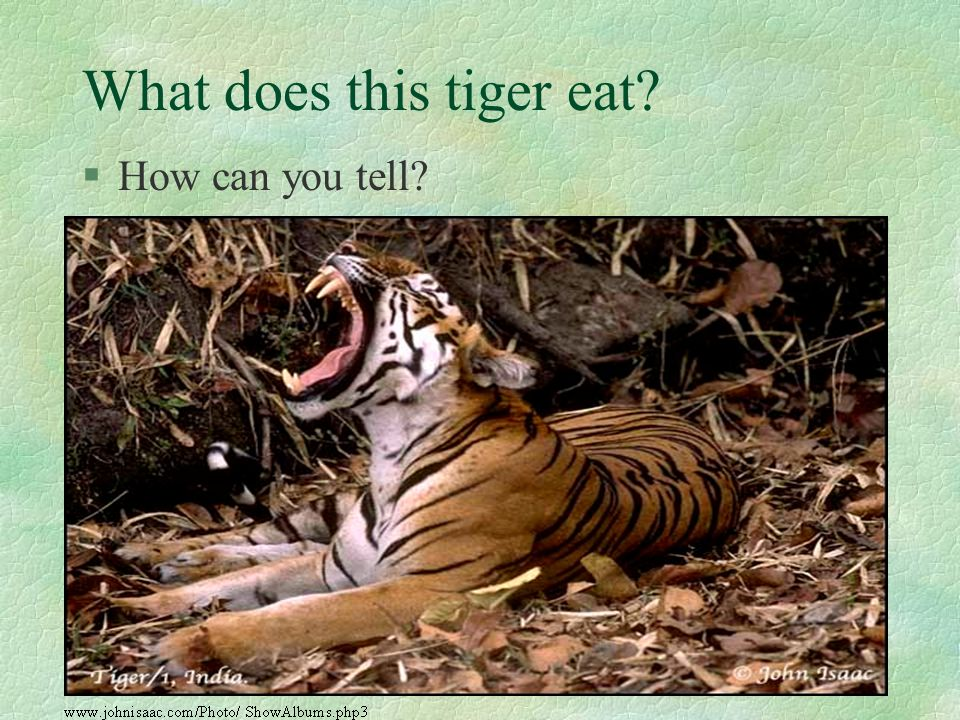 What does this tiger eat? §How can you tell?