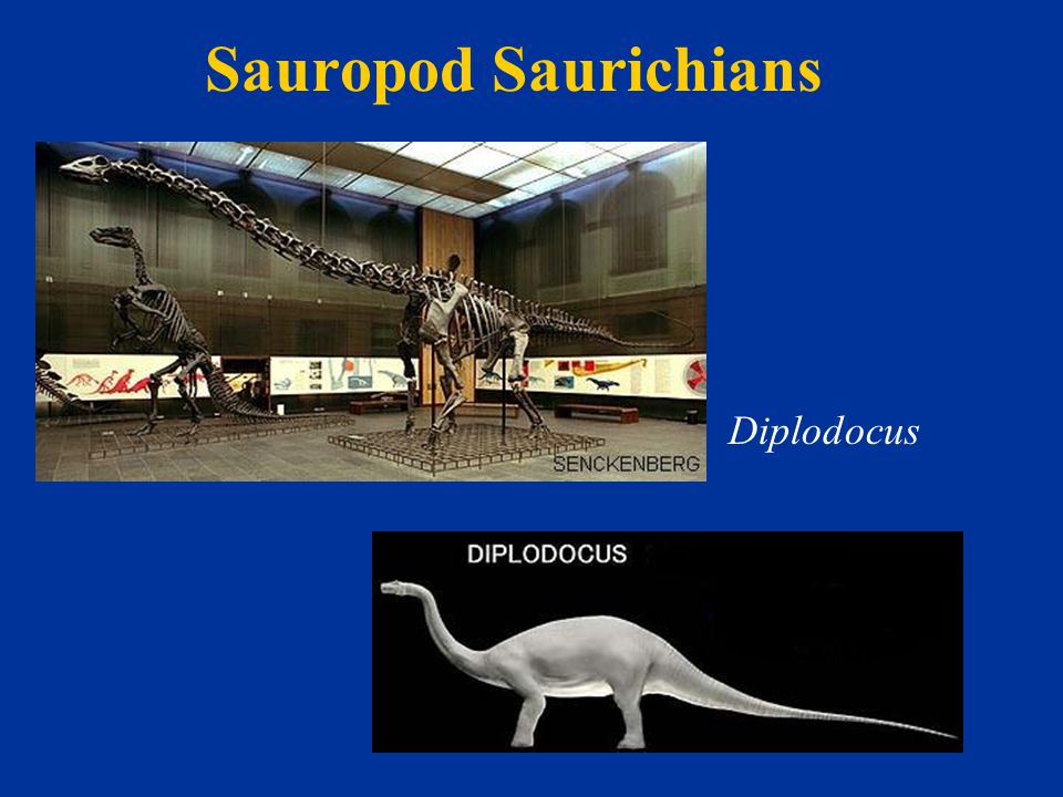 Sauropod Saurichians Diplodocus