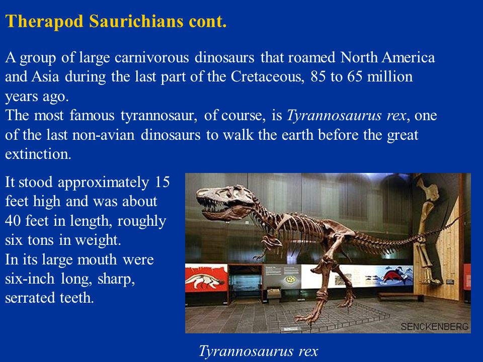Therapod Saurichians cont. Tyrannosaurus rex A group of large carnivorous dinosaurs that roamed North America and Asia during the last part of the Cre