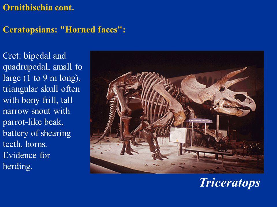 Triceratops Ornithischia cont. Ceratopsians: