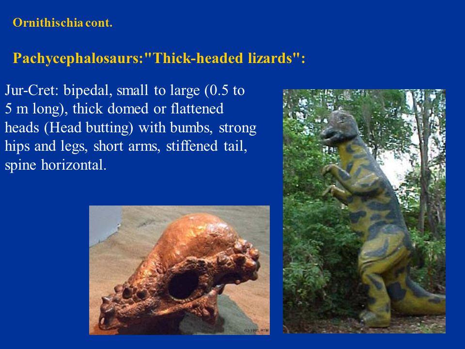 Ornithischia cont. Pachycephalosaurs: